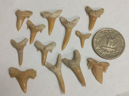 Collection Of Fossil SHARK TEETH From Morocco (#K897) - Fossils