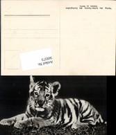 569373,Zoo Berlin Junger Sibirischer Tiger - Tierwelt & Fauna
