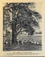 """MAROC - N°232 - Les Cèdres De L'Atlas - Collection """"Pour L'Enseignement Vivant"""" - Colonies Françaises - TBE - Collections"""
