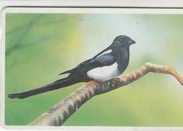 Korea South -  Bird - Magpie - Korea, South