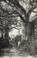 B 6929 - Messageries  Maritîmes     Afrique    Mombasa     Baobabs - Senegal