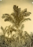 Madagascar Arbre Raphia Ancienne Photo Ramahandry 1910' - Africa