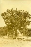 Madagascar Arbre A Pain Artocarpus Altilis Ancienne Photo Ramahandry 1910' - Africa
