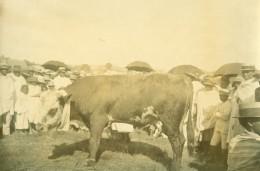Madagascar Tananarive Foire Agricole Vache Ancienne Photo Ramahandry 1910' - Africa