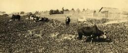 Vue Poétique De Madagascar Panorama Betail Vaches Manakara Ancienne Photo 1937 - Africa