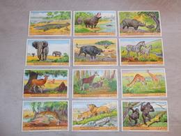 LIEBIG ( 569 ) - NL - 12 Chromos N° 1 à 12 :  Wilde Dieren In Kongo ( Congo )  Olifant  éléphant - Liebig
