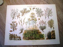 CHROMO-LITHOGRAPHIE AUS MEYER'S LEXIKON 1895  STEPPENPFLANZEN - Lithographies