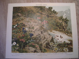CHROMO-LITHOGRAPHIE AUS MEYER'S LEXIKON 1895  ALPENPFLANZEN - Lithographies