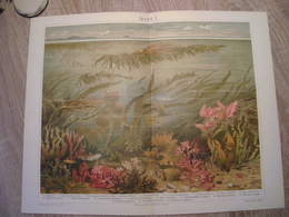 CHROMO-LITHOGRAPHIE AUS MEYER'S LEXIKON 1895  ALGEN - Lithographies