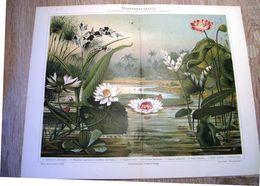CHROMO-LITHOGRAPHIE AUS MEYER'S LEXIKON 1895 WASSERPFLANZEN - Lithographies