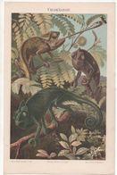 CHROMO-LITHOGRAPHIE AUS MEYER'S LEXIKON 1895  CHAMÄLEON - Lithographies