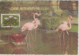 Carte Maximum 1963 Oiseaux Flamants Roses 487 - République Du Congo (1960-64)