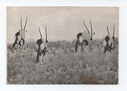 POSTCARD 1960years ANGOLA FAUNA FAUNE PARK NATIONAL GAME RESERVE MOÇÂMEDES AFRICA ANIMALS - Angola