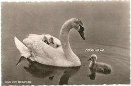 X3420 Gruss Vom Bodensee - Cigno Cygne Zwaan Swan / Non Viaggiata - Oiseaux