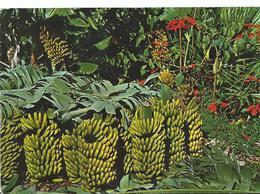 Iles Des Canaries Bananenernte - Espagne