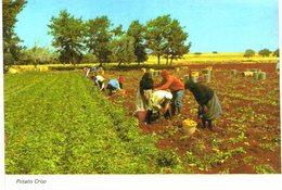 Chypre - Cyprus - Récolte De Pommes De Terre - Potato Crop - Kartoffel Ernte - Chypre