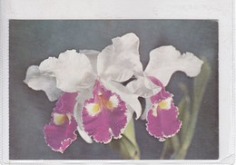ORCHIDS. CATTLEYA HARDIANA, HIBRIDO. VENEZUELA. CIRCA 1970's - BLEUP - Bloemen