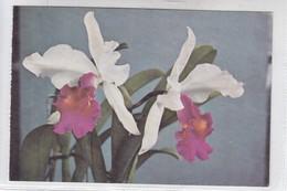 ORCHIDS. L CATTLEYA NUANU CREMA. VENEZUELA. CIRCA 1970's - BLEUP - Bloemen