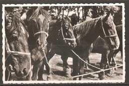 Carte P ( Les Chevaux ) - Horses