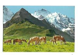 Männlichen Berner Oberland Tschuggen Und Jungfrau - Elevage