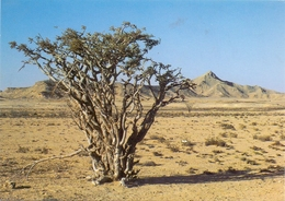 OMAN - SALALAH, Frankincense Tree - Oman