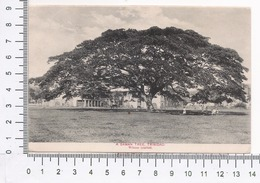 Trinidad ~ A Saman Tree ~ Natura ~ Animata ~ Albero ~ Alberi Giganti ~ Wilsons Limited ~ Nature, Big Trees, 1915, Tobago - Postcards