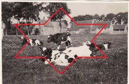 Photo 1915 ZUIENKERKE (Zuyenkerke) - Une Vue, Vaches (A196, Ww1, Wk 1) - Zuienkerke
