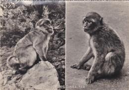 ROCK APES, GIBRALTER - Monkeys