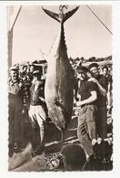 22 Lannion, Thon Record De France De 191 Kilos (A4p4) - Pêche