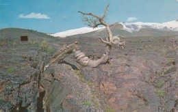 Idaho Triple Twist Tree Craters Of The Moon National Monument - Etats-Unis