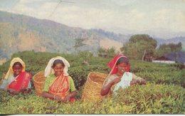 004831  Tea Pluckers Up-Country, Ceylon - Sri Lanka (Ceylon)