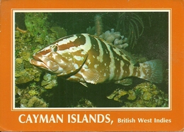 Cayman Islands (BWI, British West Indies) The Grouper Fish, Il Pesce Grouper - Cayman (Isole)