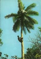 Climbing A Coconut Tree (Fiji, Oceania) - Figi