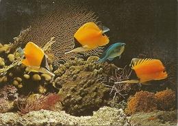 Bahamas (Antille) Longnosed Butterfly Fish, Pinzetfish, Forcipiger Flavissimus - Bahamas