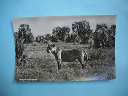 MOZAMBIQUE  -  Gorongosa  -   Animal En Brousse - Mozambique
