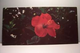 GUYANE   -  FLORE -  Hibiscus Rosa Sinensis-  Carte Grand Format - ( Pas De Reflet Sur L'original ) - Autres
