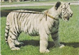 WHITE TIGER CUB, BRISTOL ZOO - Tigers
