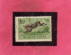HUNGARY UNGHERIA MAGYAR 1953 AIR MAIL POSTA AEREA FAUNA ANIMALS HARE RABBIT LEPRE ANIMALE 20f USATO USED OBLITER - Posta Aerea