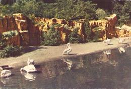 LYON PARC TETE D OR LES PELICANS - Pájaros