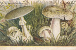 Champignons - Amanite Phaloïde Et Russule. - Funghi