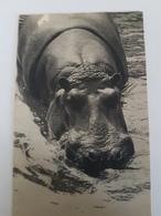 CPA HIPPOPOTAME PARC ZOOLOGIQUE BOIS DE VINCENNES - Hippopotames