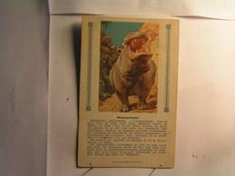 Animaux - Hippopotame - Hippopotames