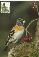 Carte Maximum - Oiseaux - Belgique - Pinson Du Nord - Fringilla Montifringilla - Tarjetas – Máxima