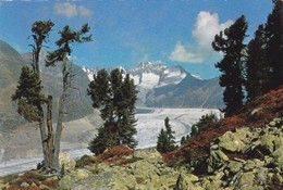 Naturschutzgebiet Aletschwald. Aletschgletscher - Cartes Postales