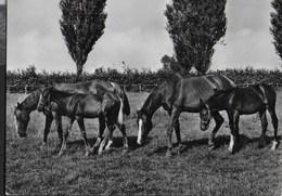 CAVALLI AL PASCOLO - BROMOFOTO MILANO - VIAGGIATA DA CREMONA 1960 - Caballos