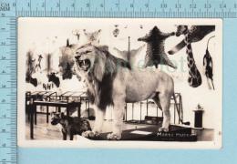 Morse Museum - Animaux Empaillés Musee Taxidermie, Lion Yenne, Animaux Affrique. Carte Postale Photo Reel - Animaux & Faune
