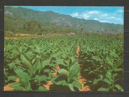 CUBA - TABACCO PLANTATION  - POST  CARD   - D 2544 - Tabak