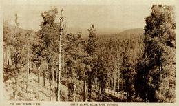 FOREST GIANTS, BLACK SPUR VICTORIA - AUSTRALIA - Australia