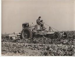 Arrachage Mécanique Des Betteraves Dans Le Nord-Tracteur.Photo 24X18cm. - Tracteurs