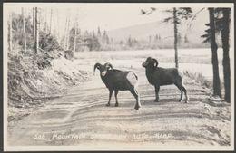 Mountain Sheep On Auto Road, C.1930s - Byron Harmon RPPC - Canada